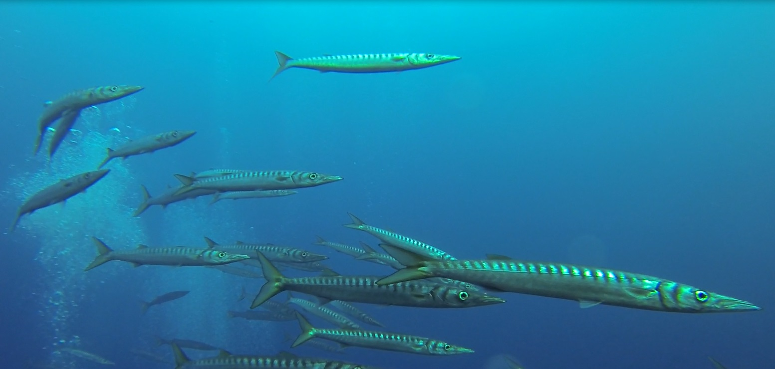 Barracudas 2